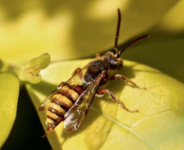 Nomada or cuckoo bee, HBBBT !