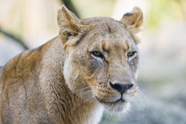 Portrait of an attentive lioness
