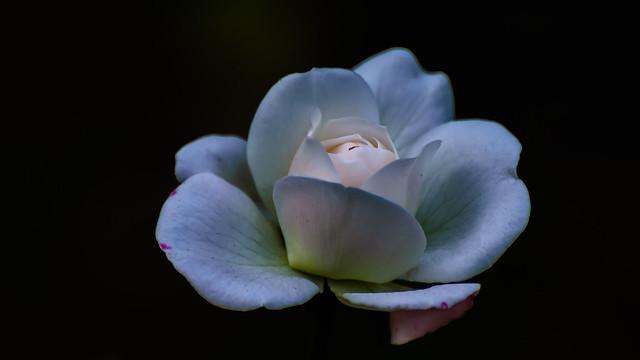 Petals of Peace!