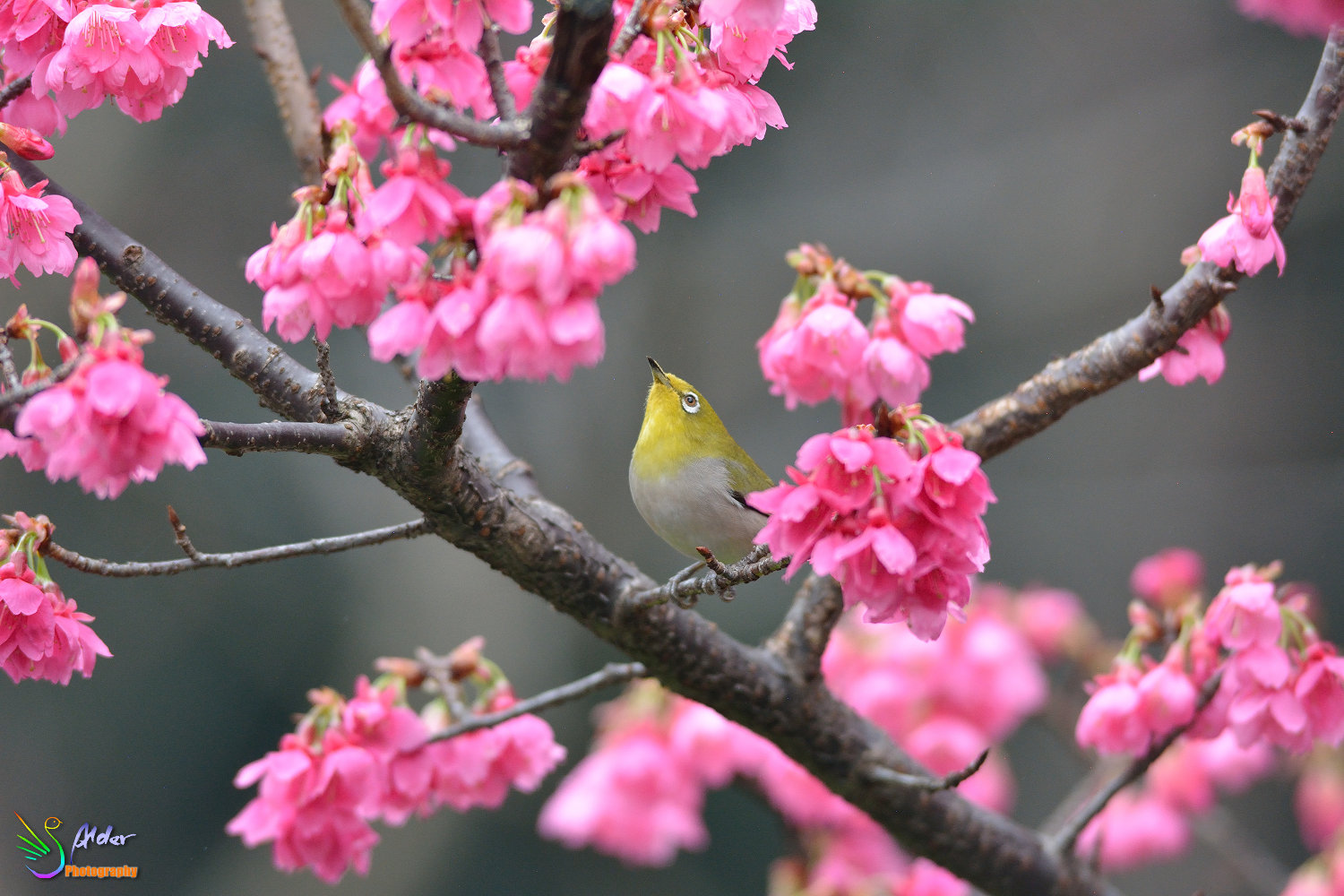 Sakura_White-eye_5857