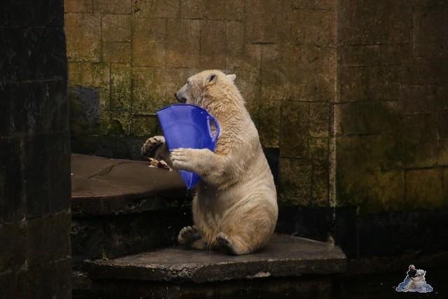 Eisbär Fiete im Zoo Rostock 13.03.2016 Teil 2  0141