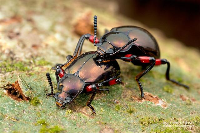 Darkling beetle (Eucyrtus cf. pretiosus) - DSC_6980