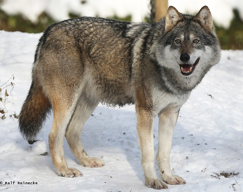 Eurasian Wolf - Zoo München Hellabrunn January 2016 08