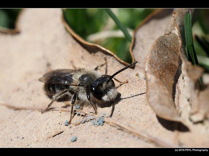 Resting Andrena bee