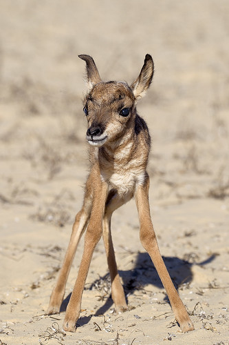 Baby Pronghorn Antelopes Hand-Reared