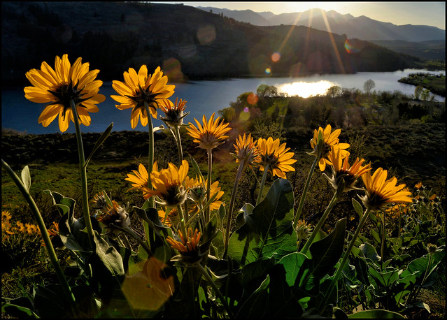Balsamroot, Pearrygin Lake