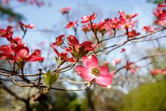 4/6/16 Pink Dogwood