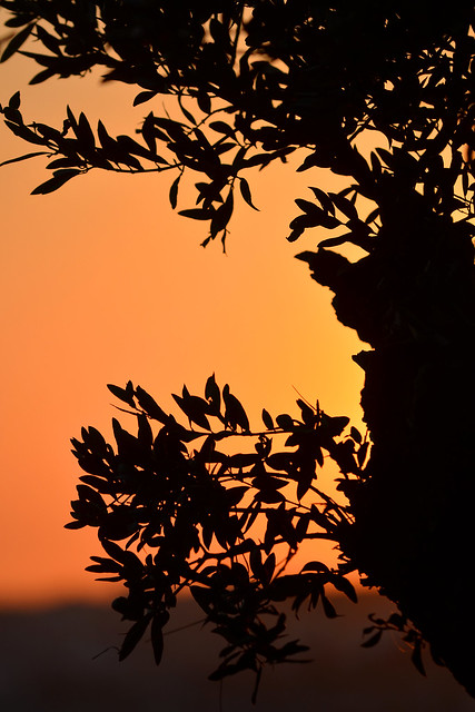 Olive silhouette