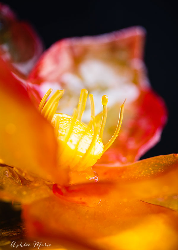 a video tutorial to make this fiery isomalt edible lotus flower