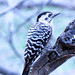 Small photo of Ladder-backed Woodpecker (female)