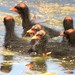 Common gallinule chicks