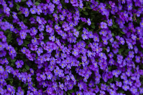 Purple: aubretia patch