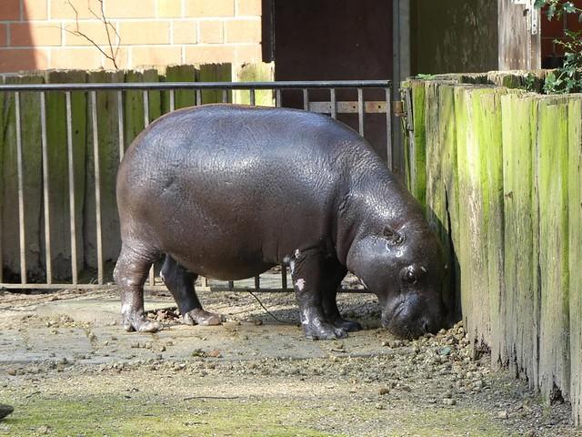 Zwergflusspferd, Zoo Krefeld