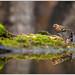 Fringilla coelebs ♂ by Alessandro Laporta Photographer