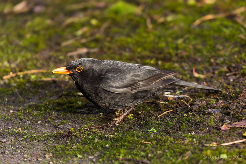 A blackbird recovers from an encounter with a window
