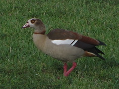 Egyptian Goose, Baptist Hospital, Miami, FL 1/ 11/2016