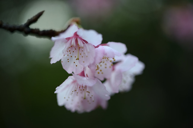 Taiwan cherry...