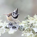 Crested Tit, Lophophanes cristatus by Midlands Reptiles & British Wildlife Diaries