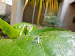 Garden fly (Condylostylus caudatus)