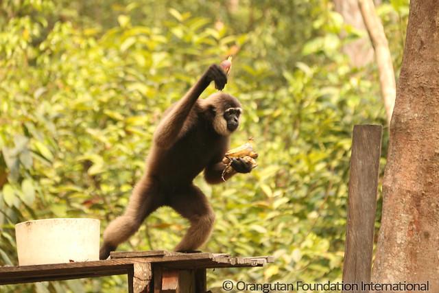 15 - Agile Gibbon (Hylobates agilis) BMG_wm