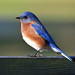 """A bluebird is like a piece of summer sky."""