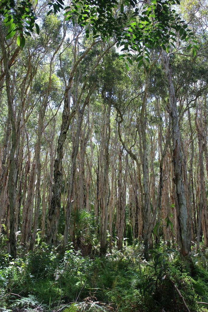 Paperbark forest, Seventeen Seventy