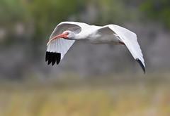 White ibis bird Merritt Island Wildlife Refuge Canaveral Seashore Florida American fly flying flight