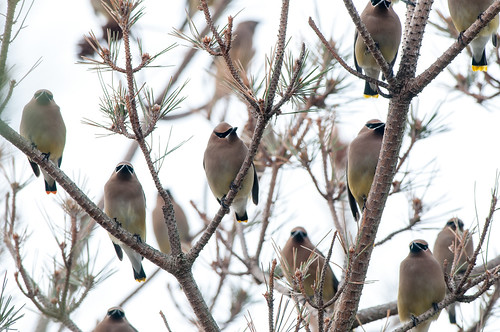 Wots of Waxwings