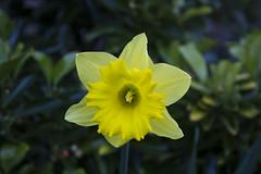 Cenhinen Bedr / Daffodil