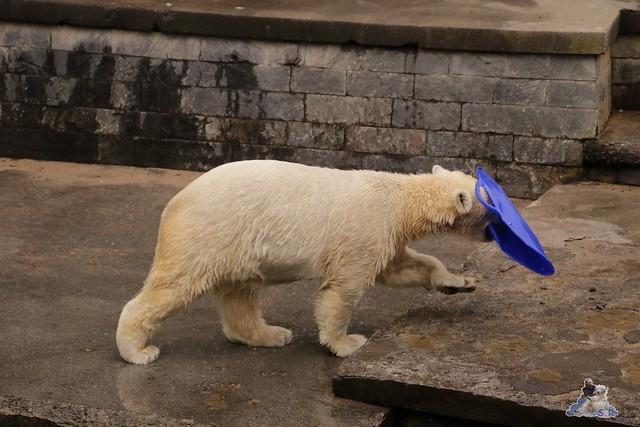 Eisbär Fiete im Zoo Rostock 13.03.2016 Teil 2  0130