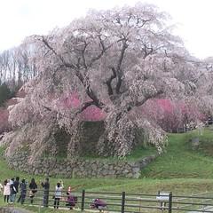 matabeizakura❤︎  #latergram #nofilter #nara #cherryblossom #奈良 #桜 #又兵衛 桜