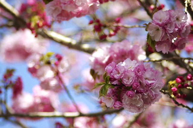 八重桜 ( Double flowering cherry tree )