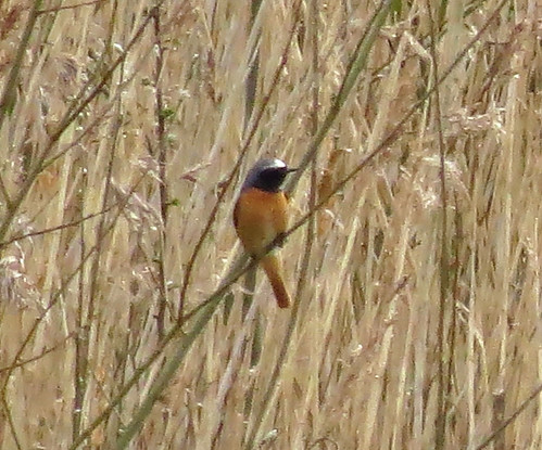 Redstart Phoenicurus phoenicurus Tophill Low NR, East Yorkshire April 2016