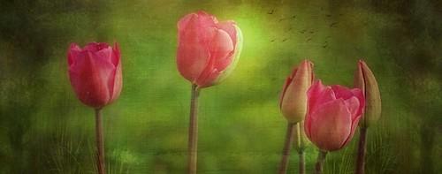Composition de tulipes