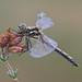 zwarte heidelibel (Sympetrum danae) by peter nijland