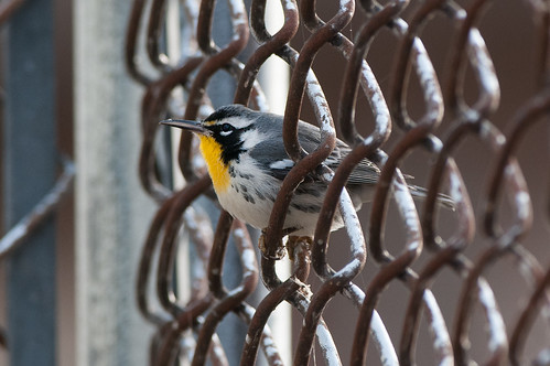 Peek-a-Boo Warbler