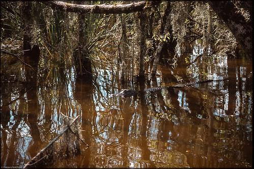 2001 usa alligator slide everglades animaux floride diapo
