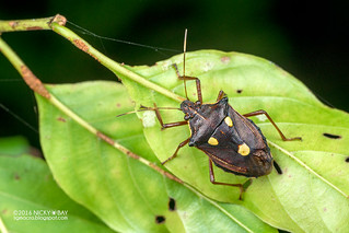 Stink bug (Pentatomidae) - DSC_2060
