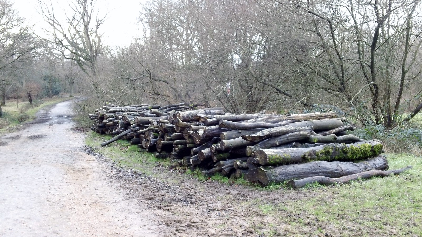 Logpile by mud-strewn path Epping Forest