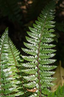 Rigid Sword Fern (Polystichum rigens)