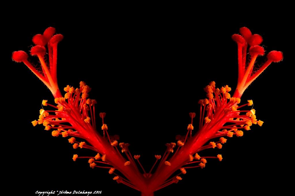 Cœur d'hibiscus 24849770743_57bec788f2_b