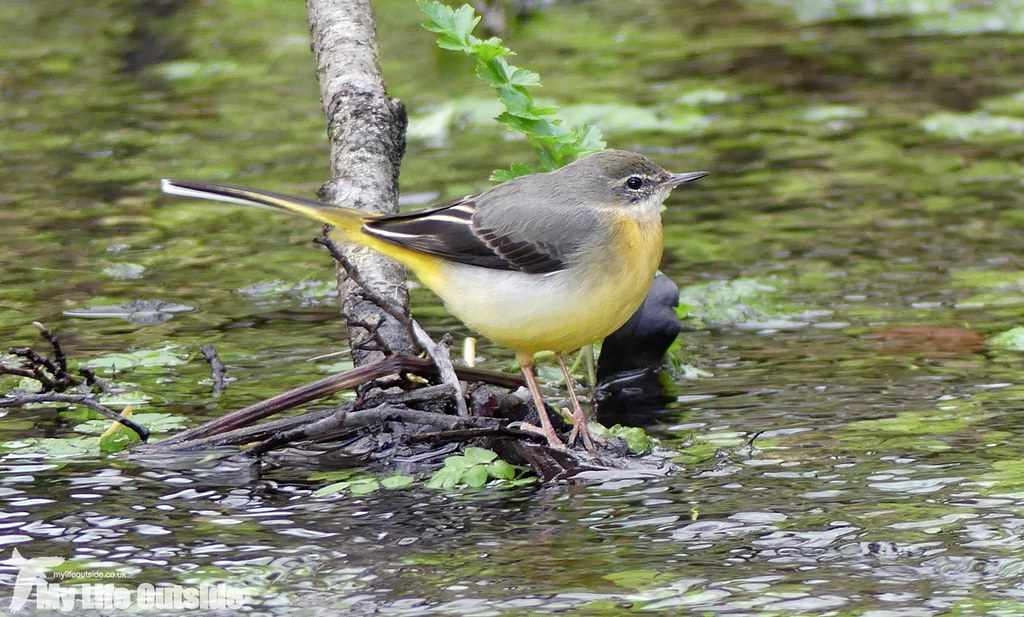 P1000255_2 - Grey Wagtail, Dinefwr