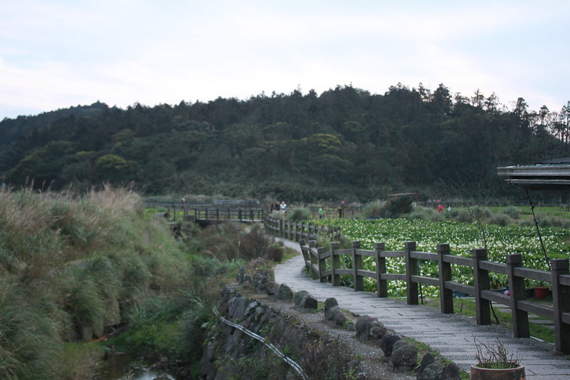 竹子湖採海芋-17度C隨拍 (91)