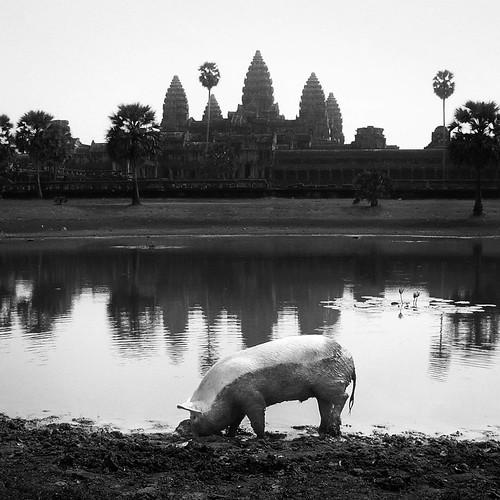 blackandwhite travelling temple pig cambodia mud angkorwat wallowg