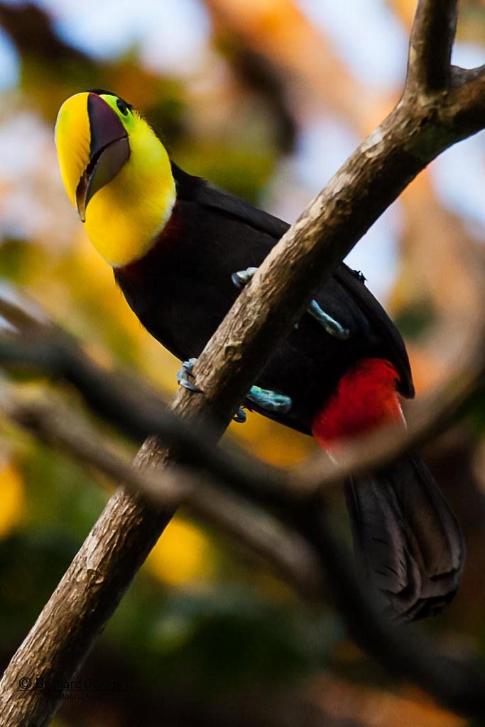IMG_2720 | Toucan tocard / 1, aussi appelé toucan de Swainso