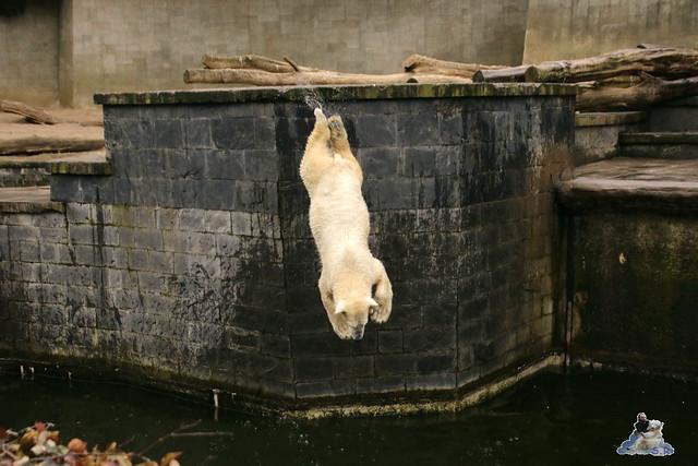 Eisbär Fiete im Zoo Rostock 12.03.2016   0124