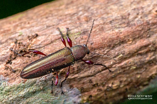 Darkling beetle (Strongylium sp.) - DSC_5204