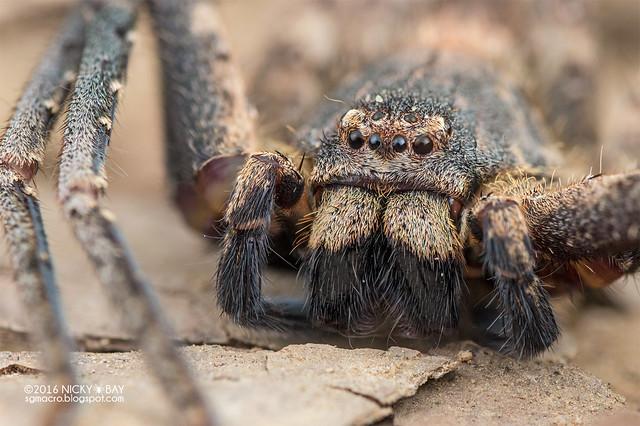 Huntsman spider (Heteropoda sp.) - DSC_8178