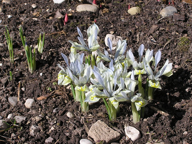 Iris histrioides 'Katherine Hodgin'
