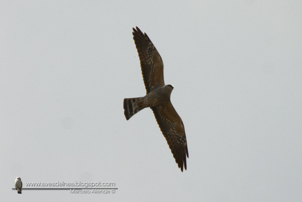 Milano boreal (Mississippi Kite) Ictinia mississippiensis